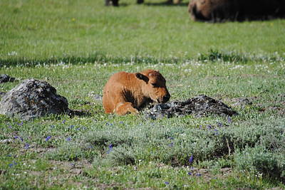 Photograph - Baby Bison Napping by Robert  Moss