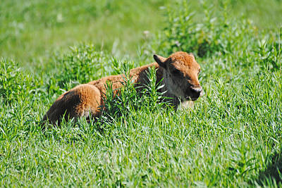 Photograph - Baby Bison by Robert  Moss