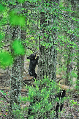 Photograph - Baby Black Bear Cub Climbing Tree by Dan Friend