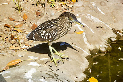 Digital Art - Baby Black Crowned Night Heron by Photographic Art by Russel Ray Photos
