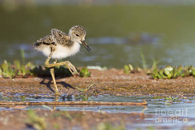 Baby Black-necked Stilt Exploring Art Print