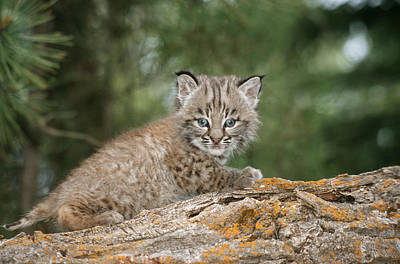 Bobcat Kitten Photograph - Baby Bobcat by M. Watson