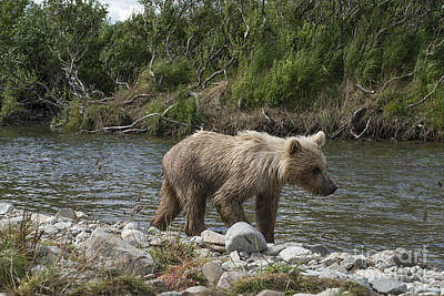 Photograph - Baby Brown Bear Cub Walking Along Shore Of Funnel Creek by Dan Friend