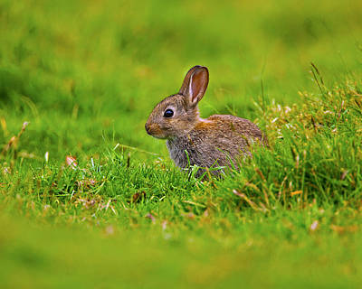 Photograph - Baby Brown Rabbit by Paul Scoullar