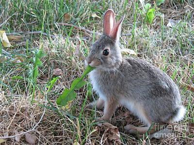 Photograph - Baby Bunny Eating Dandelion #01 by Ausra Huntington nee Paulauskaite