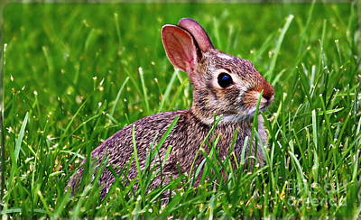 Photograph - Baby Bunny by Elizabeth Winter