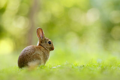 Juvenile Photograph - Baby Bunny In The Forest by Roeselien Raimond