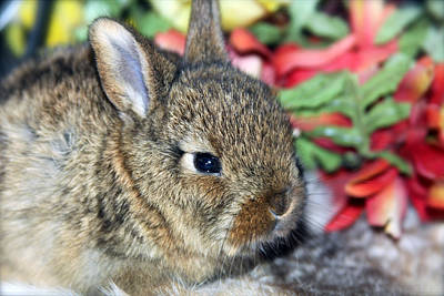 Photograph - Baby Bunny Rabbit by Karon Melillo DeVega