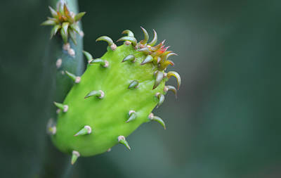 Cactus Photograph - Baby Cactus - Macro Photography By Sharon Cummings by Sharon Cummings
