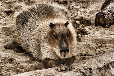 Digital Art - Baby Capybara by Photographic Art by Russel Ray Photos