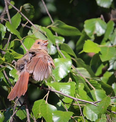 Rare Bird Sighting Photograph - Baby Cardinal - 2 by Christy Cox