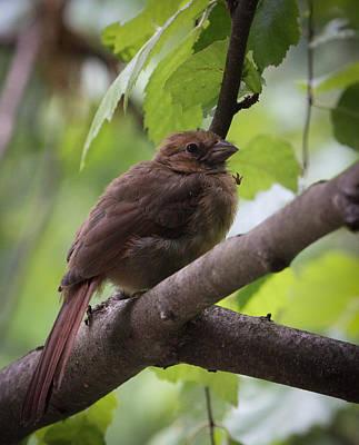 Rare Bird Sighting Photograph - Baby Cardinal by Christy Cox