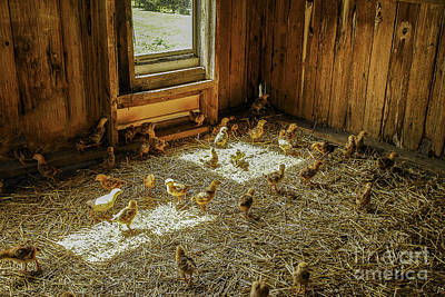 Photograph - Baby Chicks by Mary Carol Story