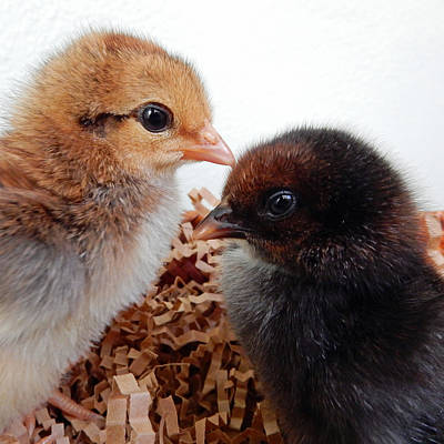 Photograph - Baby Chicks by Pamela Walton