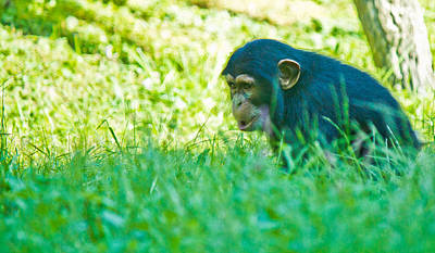 Photograph - Baby Chimp In The Grass by Jonny D