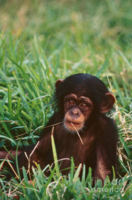 Photograph - Baby Chimpanzee by Mark Newman