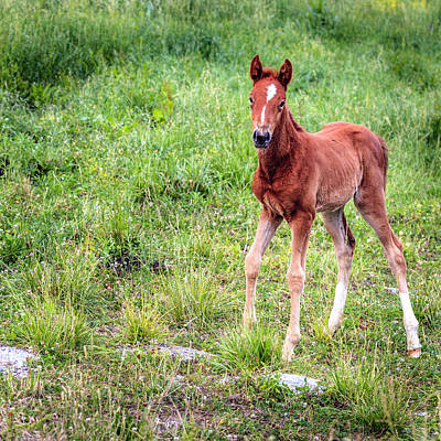 Photograph - Baby Colt by Alexey Stiop