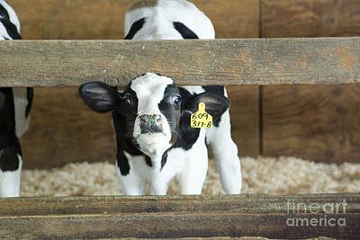 Photograph - Baby Cow by Louise Magno