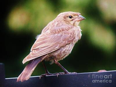 Photograph - Baby Cowbird 2 by Judy Via-Wolff