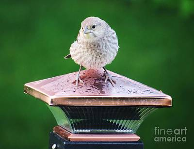 Photograph - Baby Cowbird by Judy Via-Wolff