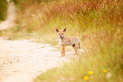 Photograph - Baby Coyote On The Trail by Peggy Collins