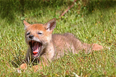 Photograph - Baby Coyote Yawning by Peggy Collins