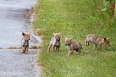 Photograph - Baby Coyotes On The Run by Peggy Collins