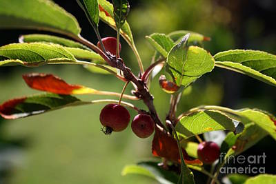Photograph - Baby Crab Apples II by Amanda Holmes Tzafrir