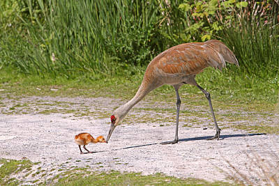 Photograph - Baby Crane With Mother by Peggy Collins