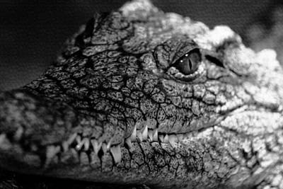 Photograph - Baby Crocodile by Michael Davis