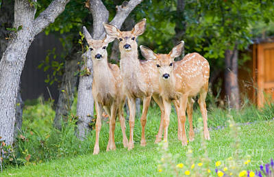 Steve Krull Royalty-Free and Rights-Managed Images - Baby Deer by Steve Krull