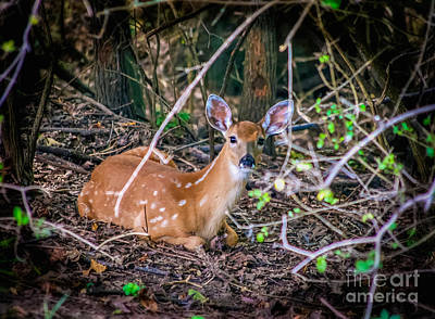 Photograph - Baby Deer  White Tail by Peggy Franz