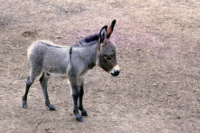 Photograph - Baby Donkey by Jim Vance