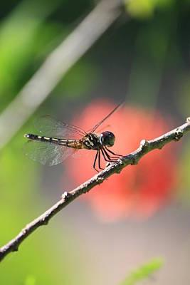 Photograph - Baby Dragonfly by Mandy Shupp
