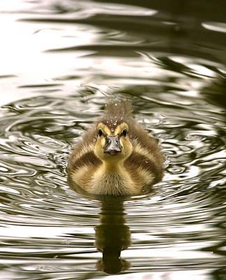 Photograph - Baby Duck by Mark Sullivan