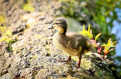 Photograph - Baby Duckling  by Athena Mckinzie