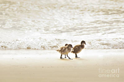 Birds Rights Managed Images - Baby Ducklings Royalty-Free Image by Tim Hester