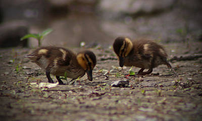 Photograph - Baby Ducks by Candace Zynda