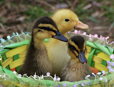 Baby Ducks Print by Sandy Keeton