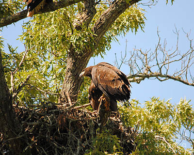 Eagle Photograph - Baby Eagle Perched On Nest by Jai Johnson