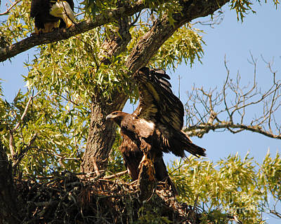 Eagle Photograph - Baby Eagle Stretching His Wings by Jai Johnson