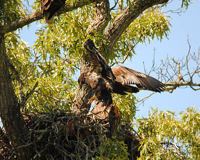 Eagle Photograph - Baby Eagle Trying To Fly II by Jai Johnson