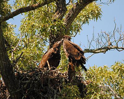 Eagle Photograph - Baby Eagles Kissing by Jai Johnson