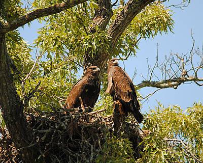 Eagle Photograph - Baby Eagles Portrait by Jai Johnson