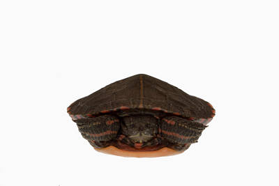 Painted Turtle Wall Art - Photograph - Baby Eastern Painted Turtle by Science Stock Photography/science Photo Library