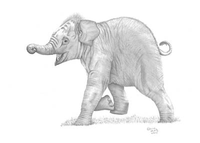 Drawing - Baby Elephant by Patricia Hiltz