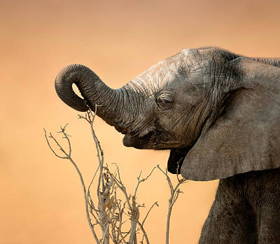 Animals Photos - Baby elephant reaching for branch by Johan Swanepoel