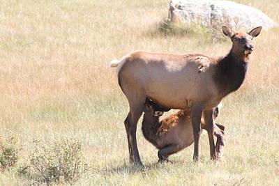 Photograph - Baby Elk Nursing by David Wilkinson