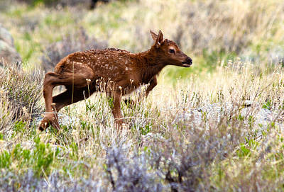 First Steps Photograph - Baby Elk by Shane Bechler