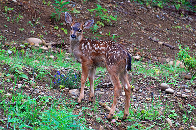 Photograph - Baby Fawn by Rebecca Parker
